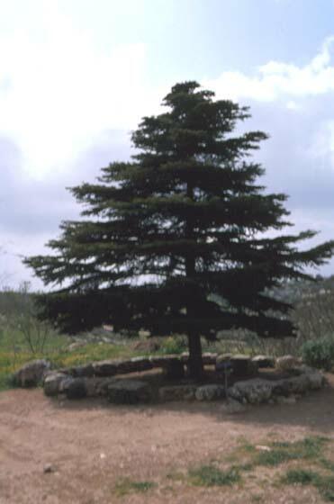聖書の植物